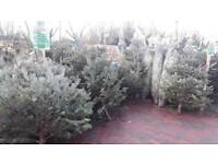 Real trees from 29.99 and wealths from £9.99