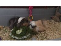 4 beautiful healthy guinea pigs