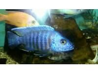 Fish malawi cichlid red shoulder 4.5 inch