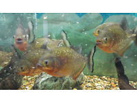 8 Red Bellied Piranhas for Sale