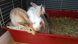 Lop and butterfly rabbits