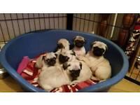 Pug Puppies full breed