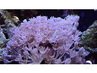 Pulsing Xenia Marine / Saltwater Aquarium Coral Frag