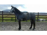 Steel grey Connemara mare reg 146cms 4yo