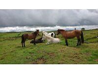 Pony Grazing Herd For Loan