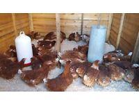 Warren hens chickens
