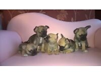 Chihuahua Puppies KC Reg Champions in bloodline