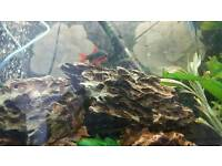 Free redtail shark and firemouth cichlid
