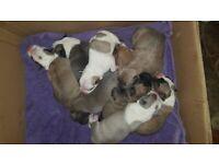 Puppies mk - Alapaha Blue Blood X Cross details in description (Will b