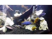 x16Malawi + x1 cat fish for sale