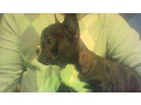 Beautifull Female French Bulldog Puppy Full Pedigree £899