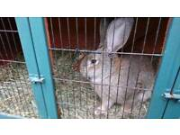 Male giant continenal rabbits