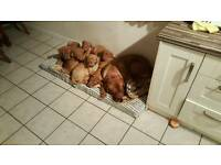 Douge de bordeaux PUPPIES