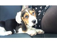 11 week old Beagle puppy for sale