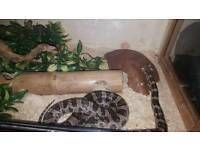 Black and grey corn snake