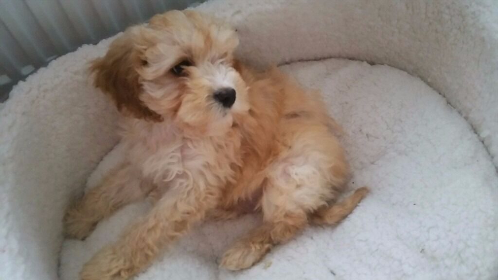 F1 Apricot Cavapoo Puppy For Sale 700 Ono Cavalier King Charles X
