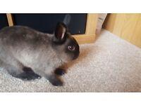 11 week old Netherland x lionhead male rabbit