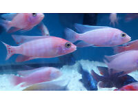 African Malawi Cichlids Tropical Fish