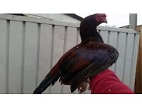 Mianwali Aseel/Asil Chicken, Healthy, White eyes, beak, legs, Beautiful colour, 14 Months old