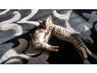 Rare Bengal Cross Kittens