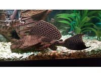 Pleco Catfish approx 8 inches in length FREE