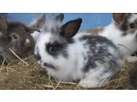 Mini lop lion head cross rabbits 8 weeks old ready for loving home. All very pretty.