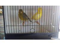 fife canarys