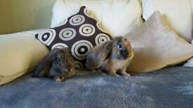 Giant French Lop babies
