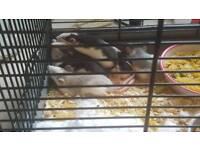 Dumbo baby rats 4 weeks old