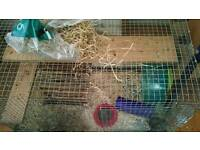 2 female degus with cage