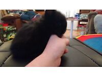 1 Male Lionhead pure bred - 8 weeks old