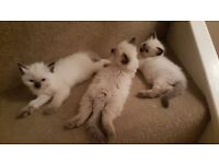 Ragdoll Kittens for sale (mixed litter)
