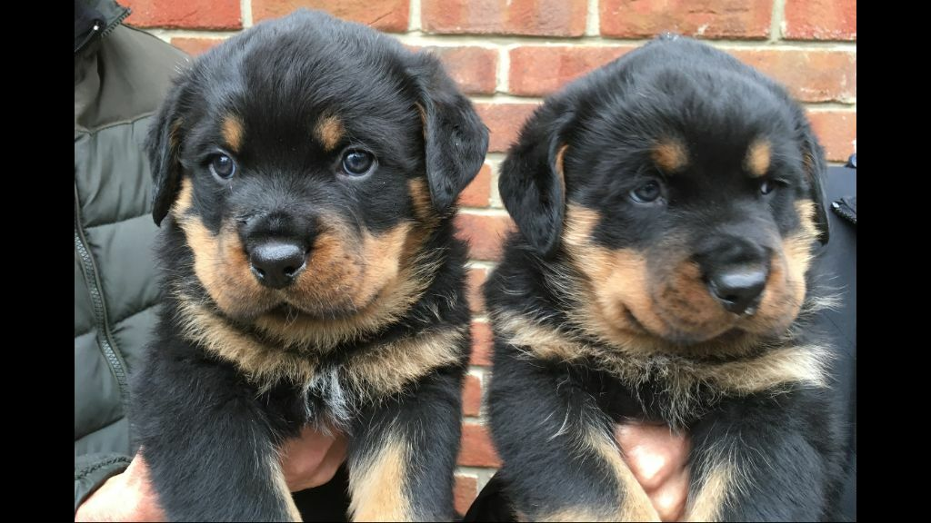 Rottweiler Puppies For Sale In Wareham Dorset Gumtree