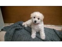Bichon Frise puppy female