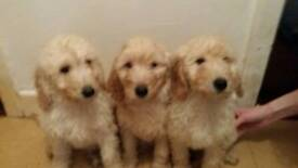 Goldendoodle pups red gold & cream ready now