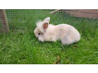 Baby Lionhead Bunny for sale