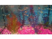 GUPPIES FISH FOR SALE 10FOR 10