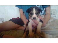 Last loving puppy needs new loving home