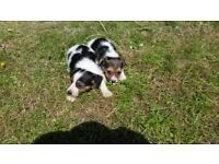 Jackrussell pups