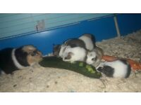 Bsby guinea pigs