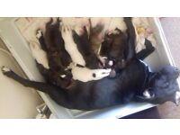 Staffy cross lab pups