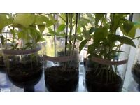 Red Demon Birdseye Chillies, Yellow Peppers, Tomato Plants
