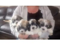 Shichon Puppies for sale