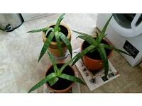 Large Aloe Vera plants £10 each
