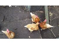4 Chickens, Feeder and Water Bottle