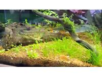 Endlers pure strain. Peaceful and colourful community fish