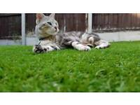 Bengal cat for sale for new home