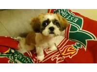 24 weeks old Shih Tzu puppy