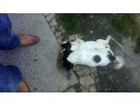 Springer pup 1 female left £150