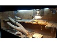 2 bearded dragons full setup Viv and cabinet